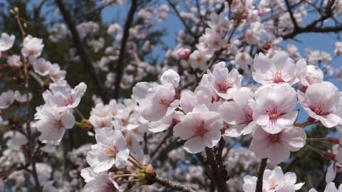 松江城は桜が満開。絶好のお花見日和でした。